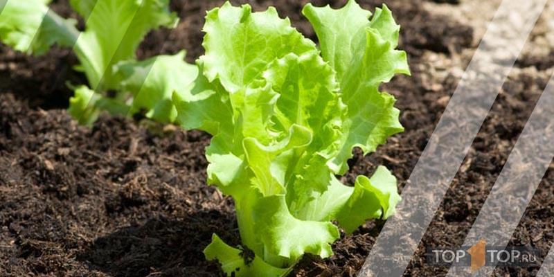 зеленый салат посадка в мае