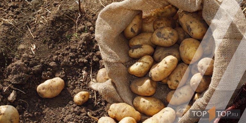 когда садить картофель